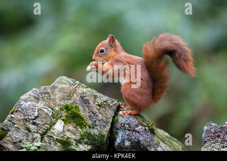 Red Squirrel (Sciurus vulgaris) eating from it's hands while standing on a moss covered rock; Dumfries and Galloway, - Stock Photo