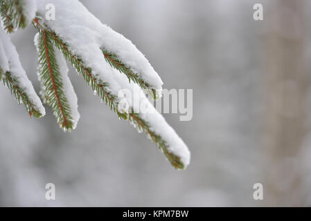 Beautiful winter tree. Close up details on pine needles brunch covered with snow at cold winter season. - Stock Photo