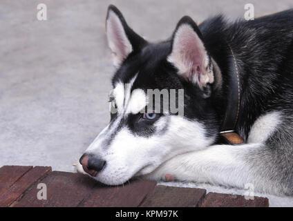 Close up on blue eyes of a beautiful husky dog. Portrait of siberian husky - Stock Photo