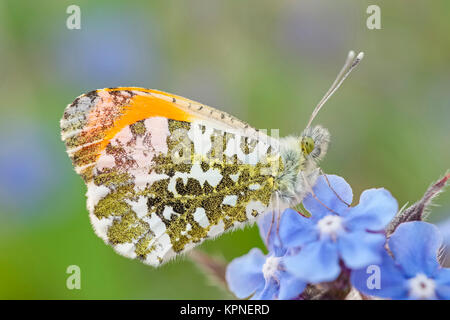 Male orange-tip butterfly resting on Forget-me-not flowers - Stock Photo