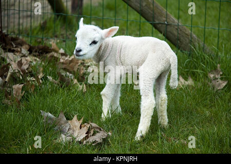 A baby lamb trying to walk - Stock Photo