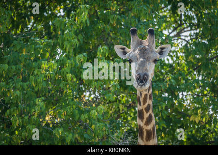 Close-up of South African giraffe in trees - Stock Photo