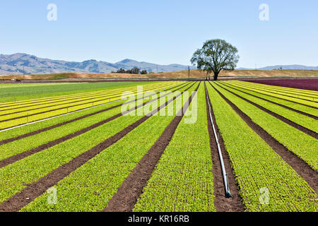 Young 'Baby Lettuce' growing  in field  'Lactuca sativa'. - Stock Photo
