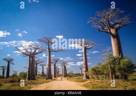 Avenida de Baobab - Stock Photo