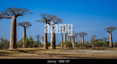 Giant Baobab (Adansonia grandidieri) trees lined the Avenue of Baobabs near Morondava. Madagascar, Africa. - Stock Photo