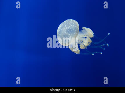 medusa jellyfish underwater diving photo egypt red sea - Stock Photo
