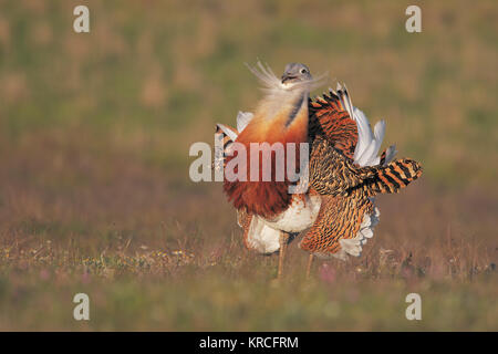 Great bustard - Stock Photo