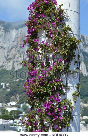 Purple flowering vine clinging onto white column with burred cliffs in the background. - Stock Photo