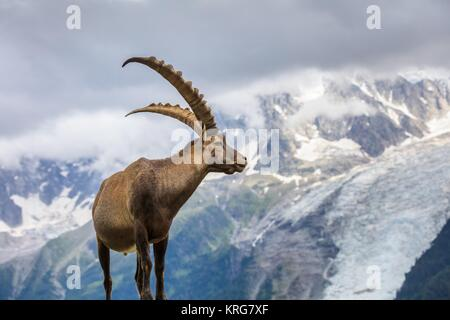 Alpine ibex (Capra ibex) in Mont Blanc, France - Stock Photo