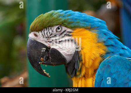 Blue-and-yellow Macaw (Ara ararauna) parrot - head from the side - Stock Photo