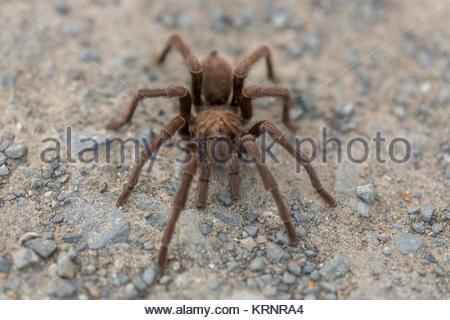 Tarantula - Aphonopelma, Contra Costa County, California, USA, Fall 2016. - Stock Photo