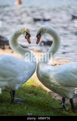 Two swans on a pond - Stock Photo