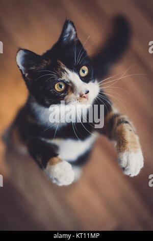 Domestic cat playing (Felis silvestris catus) - Stock Photo