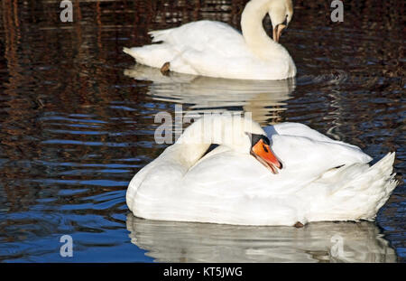 Beautiful Mute Swans preening their feathers while floating on waters surface - Stock Photo