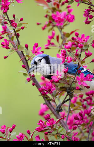 Blue Jay perched in a crabapple tree - Stock Photo