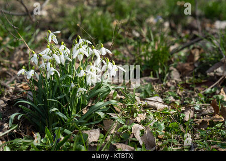 This spring's first flowers peeping out of the ground. Snowdrops in a small cluster illuminated in the dark soil - Stock Photo