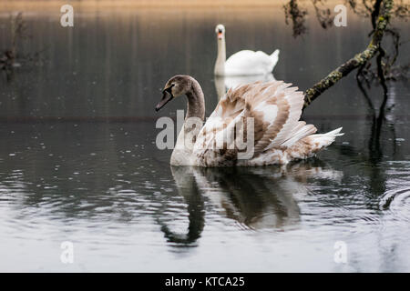 Swan on the lake on a rainy day. Floating birds on the lake's surface. Autumn time - Stock Photo