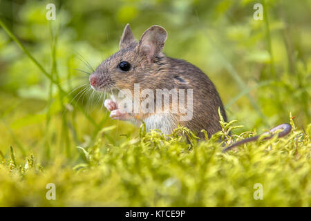 Cute wild Wood mouse (Apodemus sylvaticus) in green moss natural environment and looking in the camera - Stock Photo
