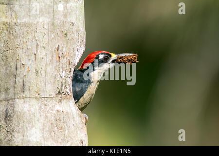 Black-cheeked Woodpecker (Male) - La Laguna del Lagarto Lodge, Boca Tapada, San Carlos, Costa Rica - Stock Photo