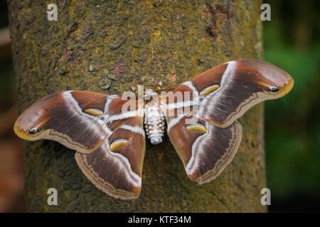 Samia cynthia, ailanthus silkmoth. - Stock Photo