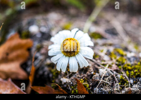 One white large daisy chamomile flower wildflower macro closeup with dark shadow grass, water dew drops in morning, - Stock Photo