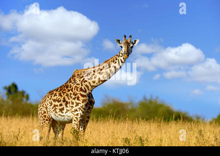 Giraffe on savannah in National park of Africa - Stock Photo