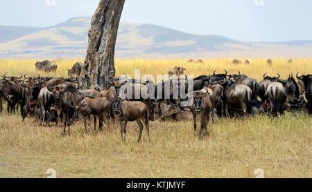 Wildebeest in savannah, National park of Kenya, Africa - Stock Photo