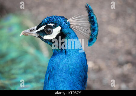 peacock in an australian zoo - Stock Photo