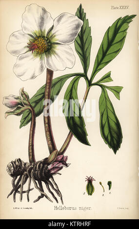 Christmas rose or black hellebore. Helleborus niger. Handcoloured lithograph by Henry Sowerby after an illustration - Stock Photo