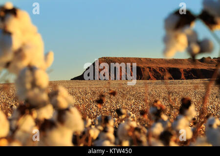 A Plateau in Fairview, Oklahoma surrounded by a fluffy field of cotton 2017 - Stock Photo
