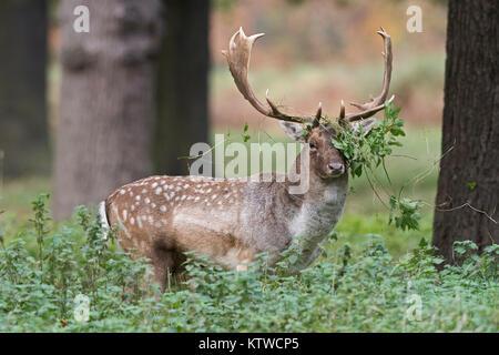 Fallow Deer Dama dama buck in Bushy Park London October - Stock Photo