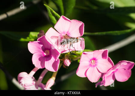 Gray meat fly sits on a pink flower and rubs the paws (Muscidae) - Stock Photo