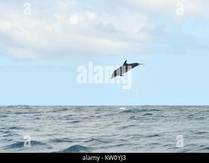 A common bottlenose dolphin (Tursiops truncatus) leaps into the air, showering water. Puerto Baquerizo Moreno, San - Stock Photo