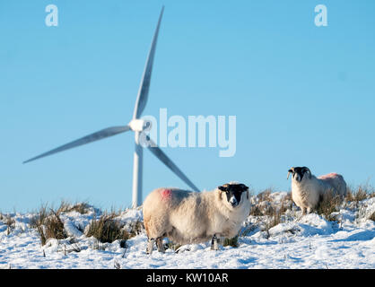 Blackface sheep foraging for food in the snow with wind turbines behind them, West Lothian, Scotland. - Stock Photo