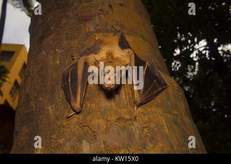Indian flying fox Bat, Pteropus giganteus. Bhavans  college, Andheri west, Mumbai, Maharashtra, India - Stock Photo