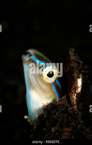 BLUE STRIPED BLENNY (PLAGIOTREMUS RHINORHYNCHOS) FROM INDONESIA - Stock Photo