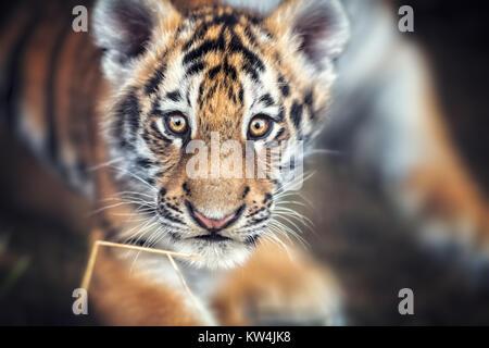 Portrait of a Beautiful Tiger cub. Tiger playing around (Panthera tigris) - Stock Photo