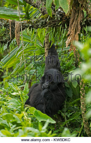 A mountain gorilla in Volcanoes National Park. - Stock Photo