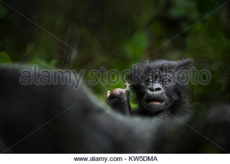 A mountain gorilla young in Volcanoes National Park. - Stock Photo