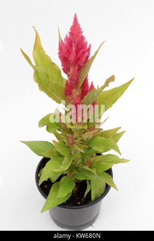 CELOSIA. Celosia flower spring and summer plant isolated on white background. Floral pattern. copy space - Stock Photo
