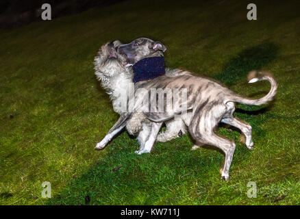 Whippet and Cockerpoo puppies play fighting. - Stock Photo