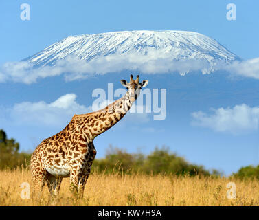 Close giraffe in National park of Kenya, Africa - Stock Photo