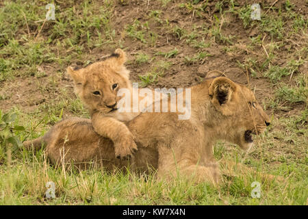 Lioness (Panthera leo) with young  cub climbing on her - Stock Photo