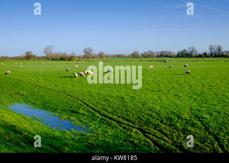 Sheep Graze on the Romney Marsh ithe Winter - Stock Photo