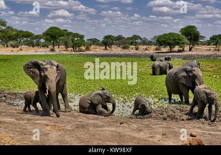 African bush elephants at waterhole, Loxodonta africana, in Tarangire National Park, Tanzania, Africa - Stock Photo