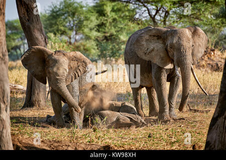 African bush elephants, Loxodonta africana, in Tarangire National Park, Tanzania, Africa - Stock Photo