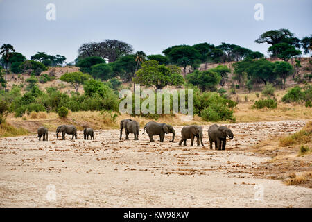 herd of African bush elephants, Loxodonta africana, in Tarangire National Park, Tanzania, Africa - Stock Photo