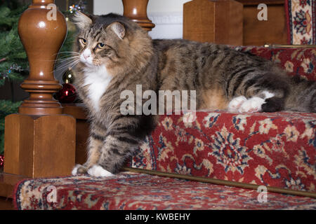 Cute Siberian cat sitting on the stairs in home indoor. - Stock Photo