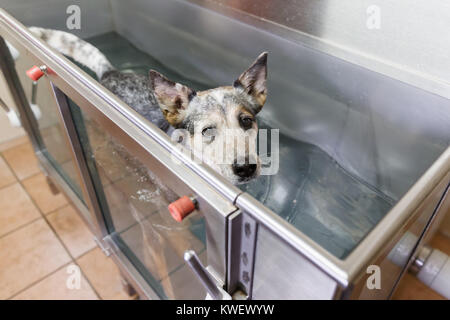 picture of an Australian Cattledog in a hydrotherapy station - Stock Photo