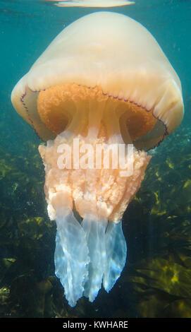 Barrel Jelly Fish - Rhizostoma Pulmo - Stock Photo